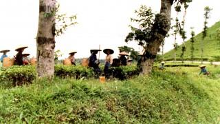 Indonesien-Teeernte